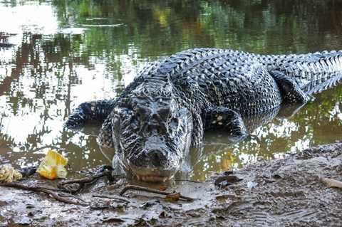 Cá sấu đen Caiman. Đây được coi là loài động vật khổng lồ trong họ nhà cá sấu. Tuy nhiên, chúng chỉ thực sự nguy hiểm khi chúng bị bỏ đói. Còn bình thường, chúng thường chủ yếu ăn cá.