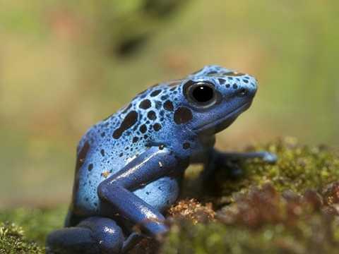 Ếch phi tiêu độc. Loài ếch này có bề ngoài khá rực rỡ và bắt mắt. Tuy nhiên, đừng để vẻ