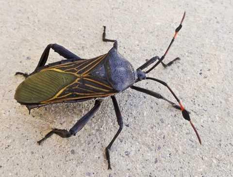 Bọ sát thủ. Cái tên của loài bọ này xuất phát từ thực tế là nước miếng của chúng kịch độc và có thể giết chết con mồi nhanh chóng
