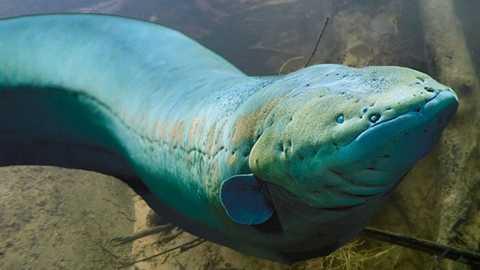 Lươn điện. Đơn giản là một con lươn có khả năng tạo ra dòng điện đủ để làm tê liệt con mồi và thậm chí khi
