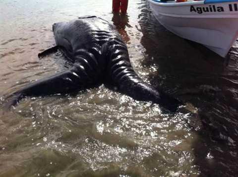 Con quái vật biển gây kinh hãi này được   phát hiện dạt vào bờ biển Laguna Ojo de Liebre, Mexico và khi phát hiện,   nó đã không còn thở.