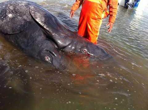 Qua giám định, các chuyên gia cho biết con quái vật hai đầu này thực chất là một cặp cá voi xám sinh đôi bị dính liền thân.