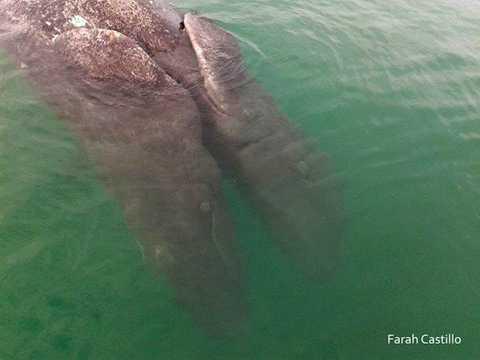 Lạ lùng ở chỗ, cặp cá voi này   chỉ có chiều dài 2,1m trong khi thông thường những con cá voi xám mới   sinh thường có chiều dài trung bình từ 3m đến 5m.