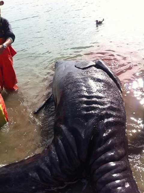 Điều này dẫn dắt các nhà nghiên   cứu đến suy đoán, cặp cá voi xám sinh đôi dính liền này chết vì con cá   voi mẹ bị sảy thai, sinh non.