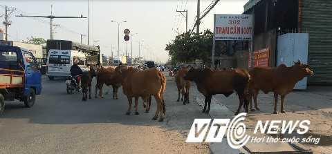 Đàn bò bỗng nhiên không chịu tuân lệnh chủ - Ảnh: Phan Cường