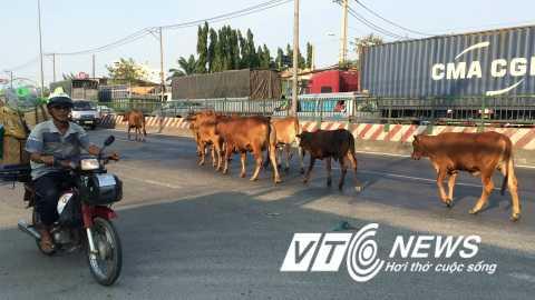 Đàn bò