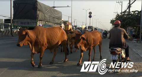 Người đàn ông lái xe máy suýt té ngã vì tìm cách lách đàn bò - Ảnh: Phan Cường