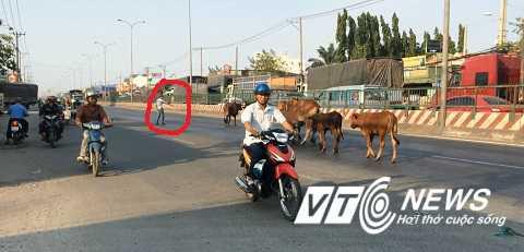 Người chăn bò giơ gậy tìm cách hướng dẫn đàn bò đi vào lề đường - Ảnh: Phan Cường