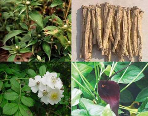 Những thảo dược Bạch truật, Đẳng sâm, Bán hạ chế, Trần bì… có trong sản phẩm Hoàng Tố Nữ giúp hỗ trợ điều trị huyết trắng bệnh lý an toàn và hiệu quả