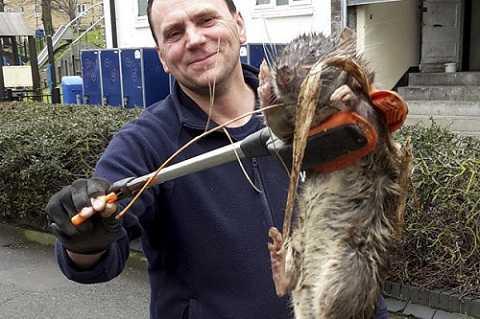 Chú chuột siêu khủng này nặng hơn 11 kg