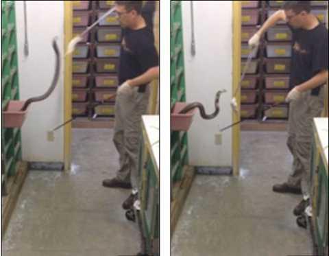 Cảnh tượng Justin cho rắn hổ mang ăn.