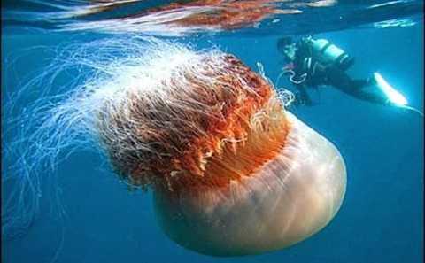 Sứa bờm sư tử là loài sứa lớn nhất hành tinh
