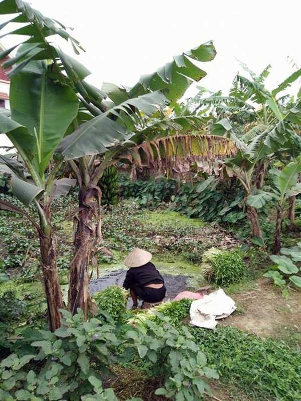 Chiếc ao nhỏ với đầy bèo và rác rau cũng như các cống nước thải từ gia đình, nước phân đổ trực tiếp xuống nguồn nước mà người dân nơi đây vẫn rửa rau cần.