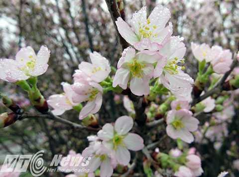 Nhiều loại Hoa Anh Đào được trưng bài tại lễ hội, có loại hoa giống hoa đào của Việt Nam