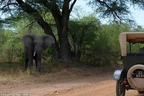 Cặp đôi Dirk và Trudy Regte  đối mặt với voi rừng ở Botswana.