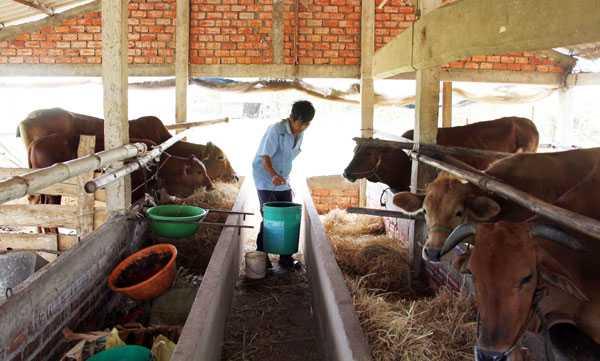 Người dân xã Tân Xuân (Ba Tri, Bến Tre) phải pha nước ngọt lẫn mặn cho bò uống qua ngày.   Ảnh:  H.X