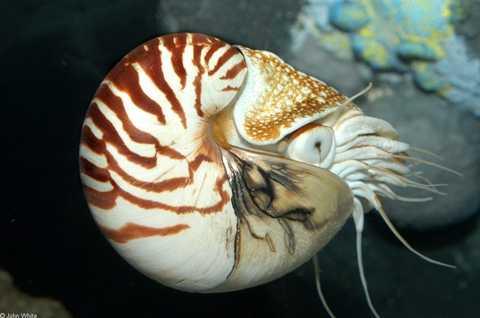 Do mặt cắt của vỏ ốc anh vũ đẹp, nên   chúng thường được mua về để chế tác đồ mỹ nghệ. Các nhà chế tác phải bỏ   ra cả chục triệu đồng để sở hữu vỏ của chúng.