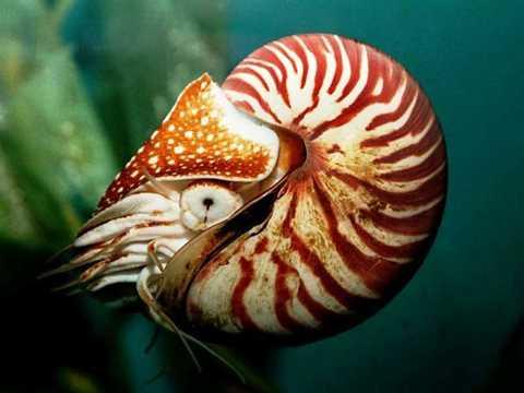 Hồ sơ hóa thạch cho thấy sinh vật này đã sống trên trái đất từ khoảng 500 triệu năm trước. Ảnh: TMT