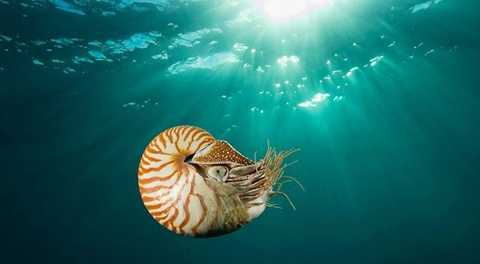 Thức ăn chủ yếu của ốc anh vũ là các loài động vật giáp xác như tôm, cua.