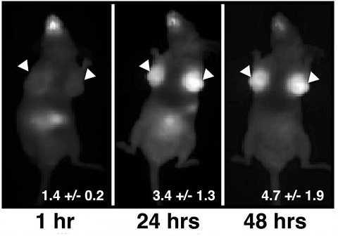 Loại thuốc nàykhiến ung thư vú của những con chuột sáng lên thứ tự 1, 24 và 48 giờ sau khi tiêm