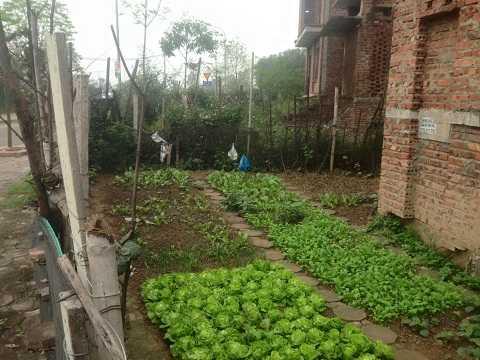 Người dân xung quanh tận dụng quỹ đất trống tại những khu biệt thự không người ở để trồng rau