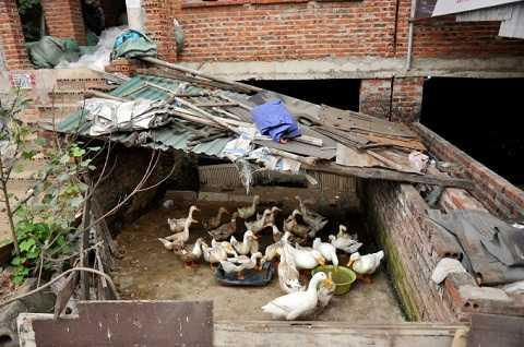 Một số hộ khoanh biệt thự để nuôi vịt
