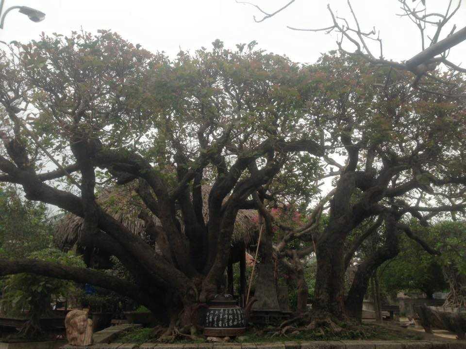 Siêu cây trâm thân rồng giá 10 tỷ đồng