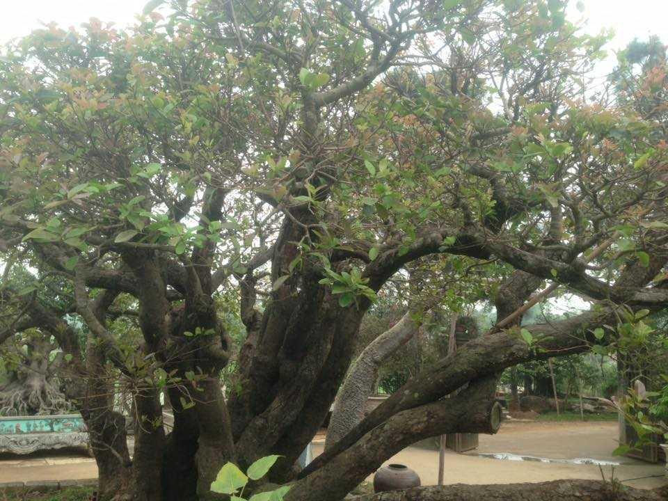 Lúc đầu cây có 21 thân rồng sau ông chặt bớt 3 thân để thẩm mỹ hơn