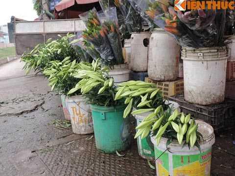 Hoa loa kèn đầu mùa đang rất khan hiếm   và đắt đỏ. Tại chợ hoa Quảng Bá, Hà Nội, giá hoa loa kèn lên đến 80.000 -   120.000 đồng/bó 5 cành.