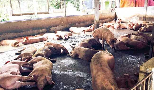 Đàn lợn dùng salbutamol lâu sẽ đứng không vững vì xương yếu.