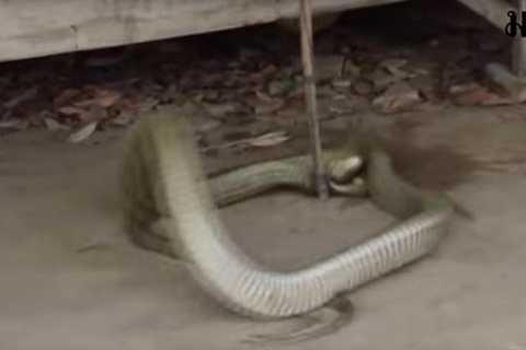 Con rắn này đã đe dọa cuộc sống của người dân địa phương trong suốt 20 năm qua. Ảnh The Mirror