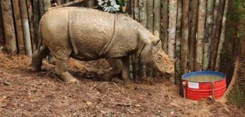 Loài tê giác ngỡ đã tuyệt chủng này lại được tìm thấy ở Indonesia. Ảnh CNN