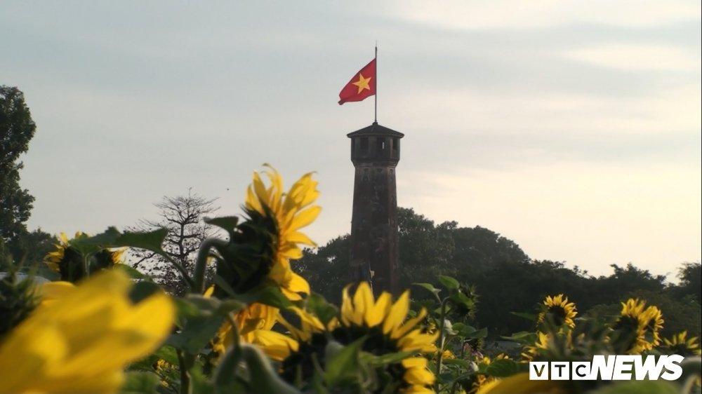 Anh: Vuon 'hoa mat troi' bung no o Hoang Thanh Thang Long hut hon du khach hinh anh 2