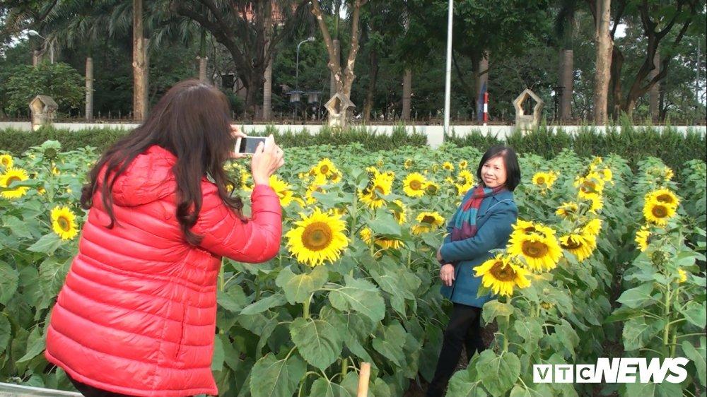 Anh: Vuon 'hoa mat troi' bung no o Hoang Thanh Thang Long hut hon du khach hinh anh 7