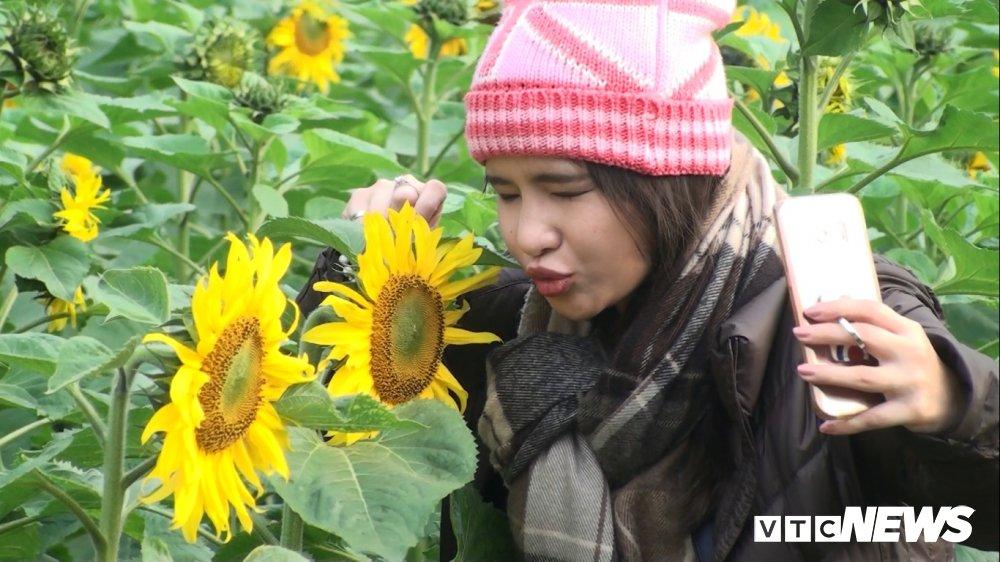 Anh: Vuon 'hoa mat troi' bung no o Hoang Thanh Thang Long hut hon du khach hinh anh 8