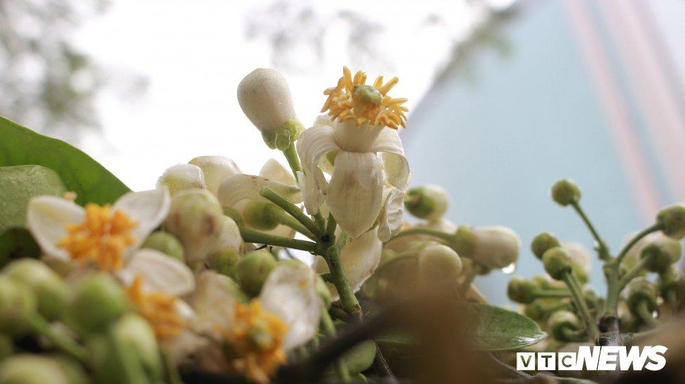 Anh: Ha Noi 'khoac ao' trang tinh khoi nhung ngay hoa buoi xuong pho hinh anh 6