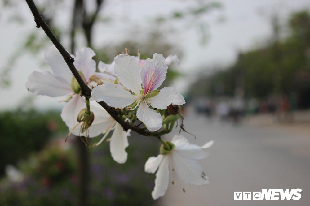 Anh: Chiem nguong hoa ban Tay Bac nhuom trang con duong ven do Ha Noi hinh anh 2