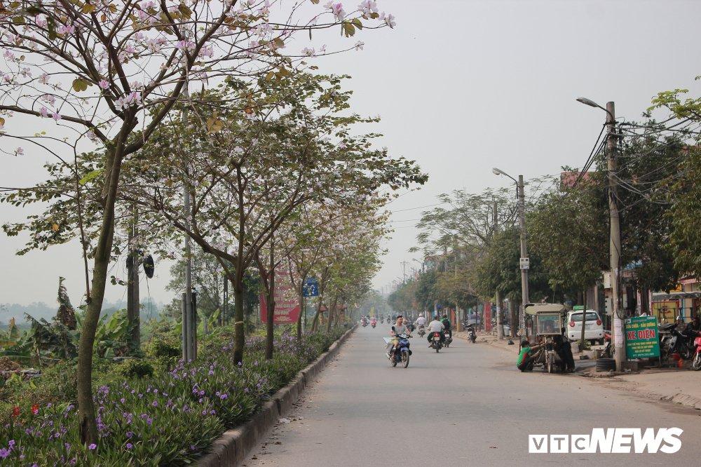 Anh: Chiem nguong hoa ban Tay Bac nhuom trang con duong ven do Ha Noi hinh anh 3