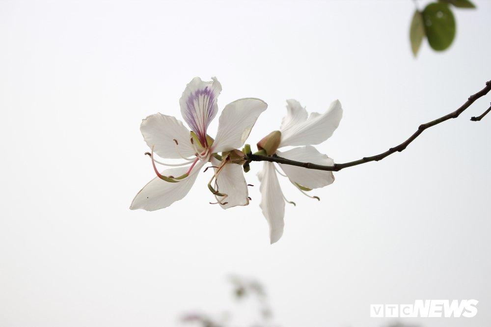 Anh: Chiem nguong hoa ban Tay Bac nhuom trang con duong ven do Ha Noi hinh anh 7