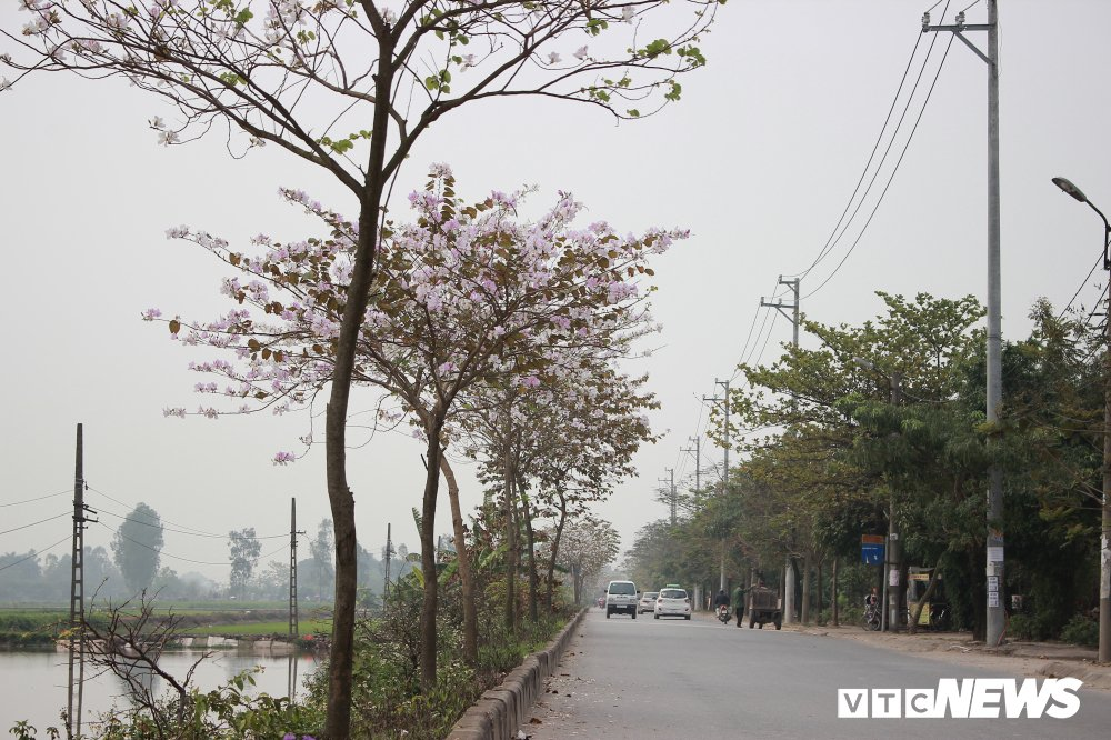 Anh: Chiem nguong hoa ban Tay Bac nhuom trang con duong ven do Ha Noi hinh anh 9