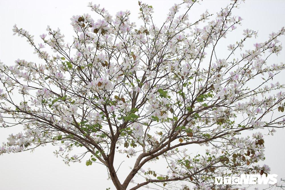 Anh: Chiem nguong hoa ban Tay Bac nhuom trang con duong ven do Ha Noi hinh anh 8