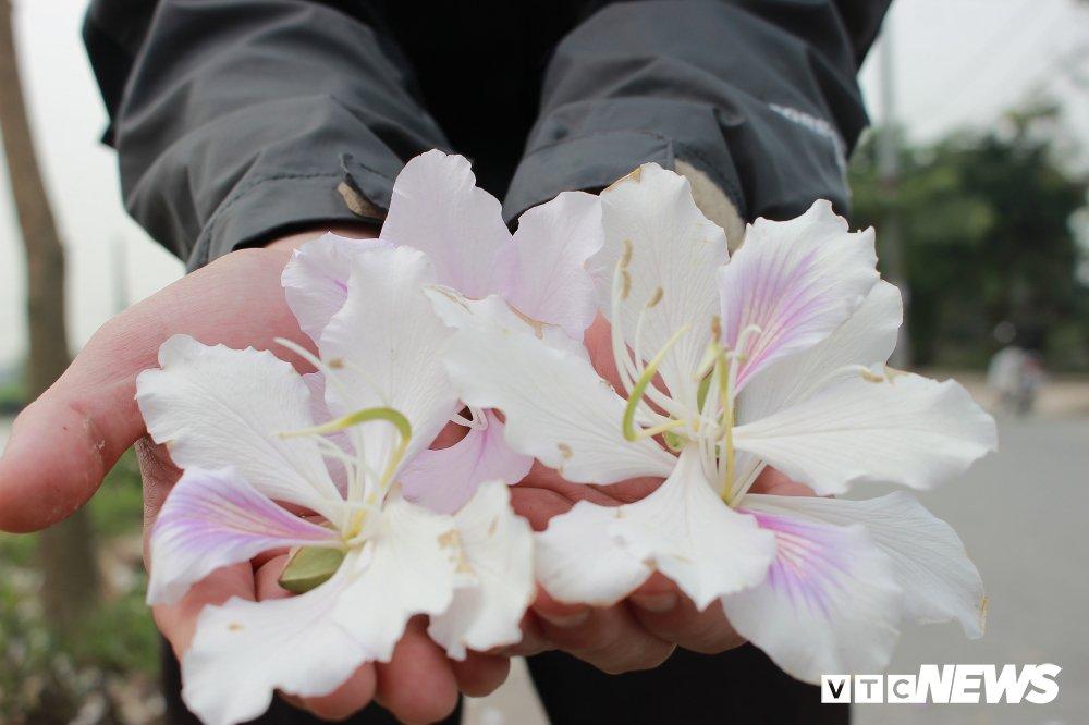 Anh: Chiem nguong hoa ban Tay Bac nhuom trang con duong ven do Ha Noi hinh anh 5