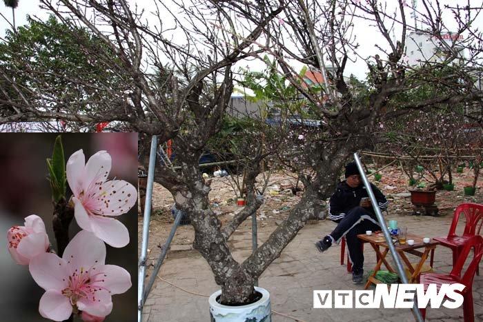 Anh: Can canh nhung goc dao da gia 90 trieu dong xuong pho Hai Phong hinh anh 1