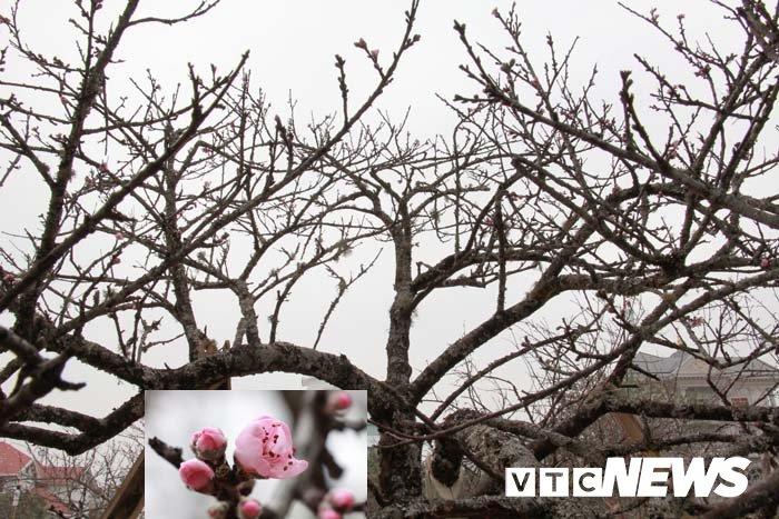 Anh: Can canh nhung goc dao da gia 90 trieu dong xuong pho Hai Phong hinh anh 11
