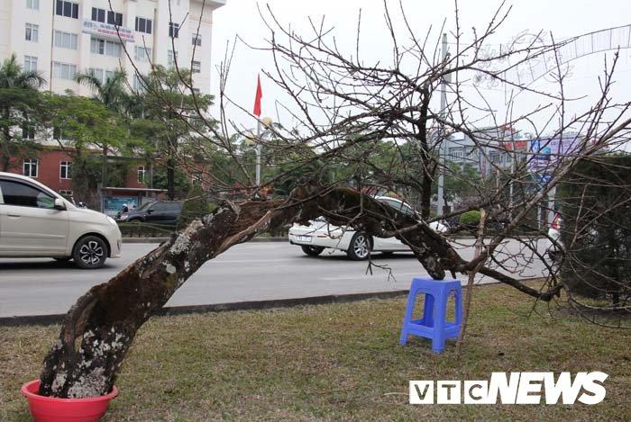 Anh: Can canh nhung goc dao da gia 90 trieu dong xuong pho Hai Phong hinh anh 21