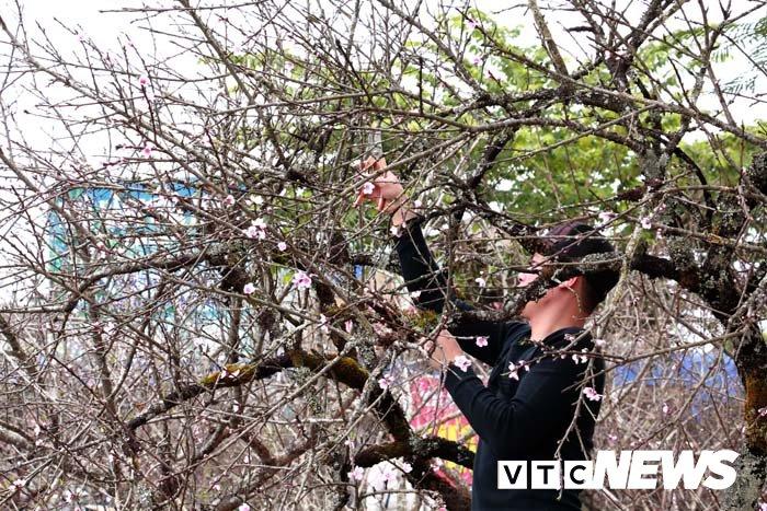 Anh: Can canh nhung goc dao da gia 90 trieu dong xuong pho Hai Phong hinh anh 23