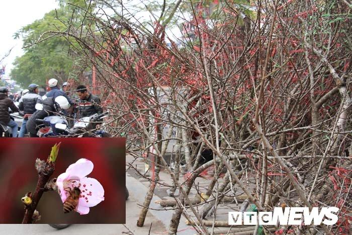 Anh: Can canh nhung goc dao da gia 90 trieu dong xuong pho Hai Phong hinh anh 24