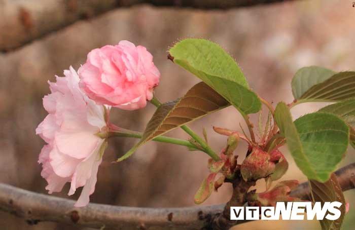 Anh: Chiem nguong hoa anh dao Nhat Ban, mai vang Yen Tu dua sac hinh anh 9