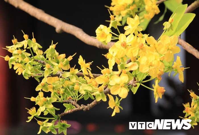 Anh: Chiem nguong hoa anh dao Nhat Ban, mai vang Yen Tu dua sac hinh anh 11