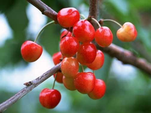 Hoc nguoi My cach trong cherry tai nha cho qua sai triu canh, an quanh nam khong het hinh anh 1